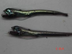 Viperfish, a predator of the mid-waters. Photo