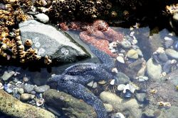 Large blue and orange starfish, barnacles, green sea urchins, a few limpets, and a few mussel shells in an Aleutian tidepool. Photo