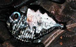 Hatchetfish Photo
