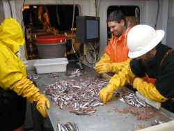 Sorting krill and small fish for study by scientific party. Photo