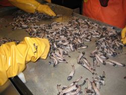 Sorting lanternfish (myctophids). Photo