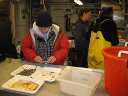 Scientist with sorting trays containing a large jellyfish, numerous lanternfish, and small squid Photo