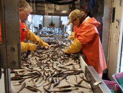 Walleye pollock being separated on the conveyor belt. Photo