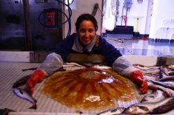 Survey technician Alyssa Pourmonir assessing a giant jellyfish on NOAA Ship OSCAR DYSON. Photo