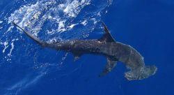Scalloped hammerhead shark Photo