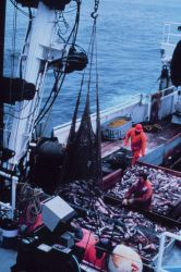 Emptying the cod end of a large trawl catch into the sorting tables of the NOAA Ship MILLER FREEMAN. Photo