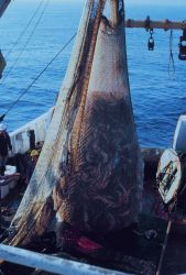 Cod end of the trawling net just before discharging fish on deck during stock assessment surveys. Photo