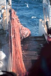 The cod end of the trawl coming aboard on the NOAA Ship MILLER FREEMAN during stock assessment surveys. Photo