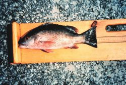 Measuring a Mangrove Snapper (Gray) during NMFS Marine Recreational Fishery Statistics Survey. Photo