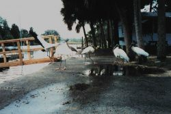Wood storks hanging out at Mary's Fish Camp near the cleaning table Photo