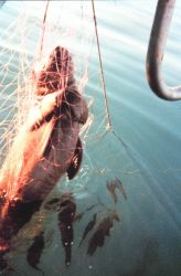 Sea turtle killed by entanglement in fishing net Photo