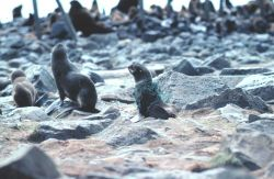 Entangled fur seal Photo