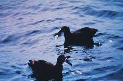 Black-footed albatross eating garbage. Photo