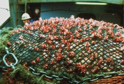 A ghastly view of fish squeezed through the net by the tons of fish trapped within the main body of the net. Image