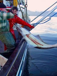 Pulling in a halibut during a demersal longline survey to work with acoustic trawl survey in Southeast Alaska. Photo