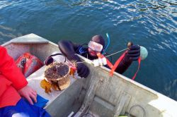 Retrieving a bottom-temperature probe by SCUBA diver. Photo