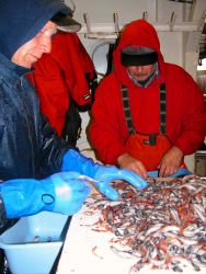 Sorting the small species caught during an acoustic trawl survey. Photo
