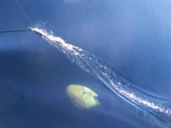 Acoustic fine being towed at about 7 knots during an acoustic survey Image