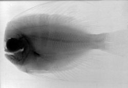 An X-ray of a Bigmouth Manefish . Image