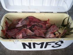 Snapper samples after filleting for tissue samples obtained from sport fishermen. Photo
