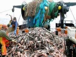 A mountain of dogfish caught during a trawl survey. Image