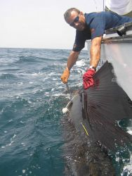 Tagging and placing tracking device on large billfish Photo