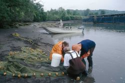 NWFSC scientists sort the catch of a beach seine in an industrial waterway for a study examining contaminant exposure and health of juvenile salmon in Photo
