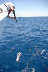Fisheries scientist obtaining tissue samples from dolphins swimming in the bow wave of the NOAA Ship DAVID STARR JORDAN. Photo