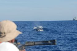 Fisheries scientist obtaining tissue samples from whale swimming ahead of inflatable boat off the NOAA Ship DAVID STARR JORDAN. Photo