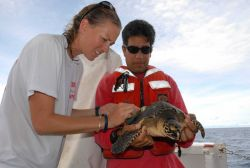 Scientist preparing mounting for tracking device on sea turtle Photo