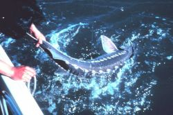 Angler pulling a white sturgeon aboard his boat Image