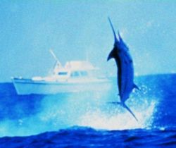Large blue marlin jumping as seen from charter vessel (CPFV) Photo