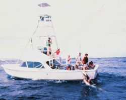 Charter vessel (CPFV) showing large marlin being brought to gaff Photo