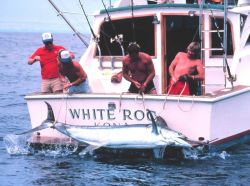 Large marlin on swim step of charter vessel (CPFV) Photo