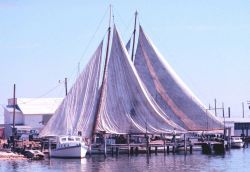Chesapeake Bay skipjacks drying sails while inport Photo