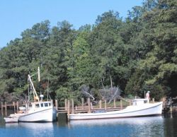 Chesapeake dead rise pound net boats tied up along the bgank of a creek Photo