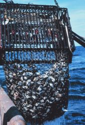 A dredge haul including live clams and empty shells Image