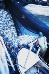 As the net draws tighter and tighter more and more fish become casualties and become easier to pump aboard the mother vessel Image