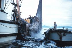 Alaskan purse seiner lifting a catch of herring to the deck Image