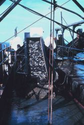 Oyster dredge at work Photo