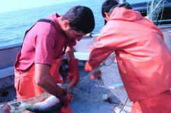 Rama Geroux, a crew member of a salmon fishing vessel, removing salmon from a gillnet in Bristol Bay Photo