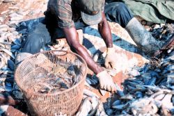 Separating shrimp from bycatch Photo