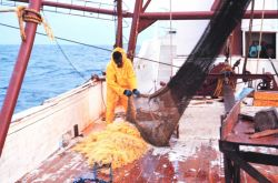 Emptying the net prior at the end of a trawl run Photo