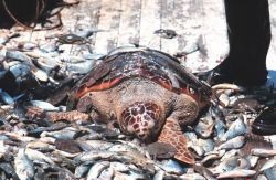 Before turtle excluder devices (TED) loggerhead turtles were casualties of shrimping operations Photo