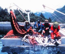 Nature's bounty - a catch of salmon by a purse seiner Photo