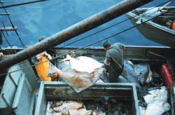 Offloading halibut from a fishing vessel at Sitka Photo