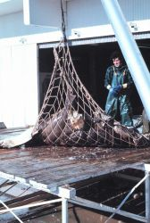 Offloading halibut at a processing facility Photo