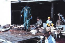Fresh halibut on the pier at a processing facility Photo