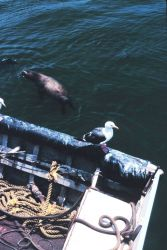 Seagulls and sealions compete for scraps from anchovy offloading operations Photo