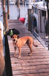 A fisherdog guards his master's boat near Triangle Fisheries Image